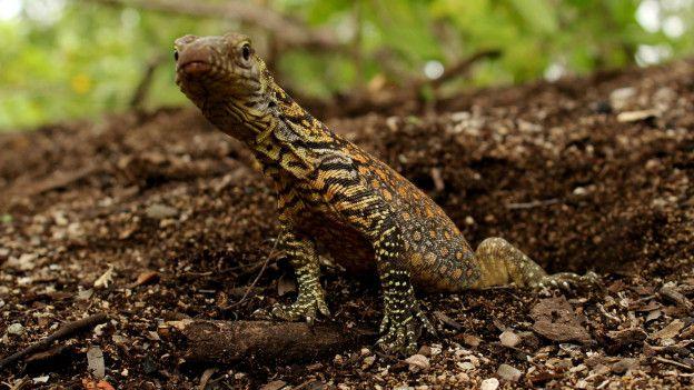 Un dragón de Komodo bebé.