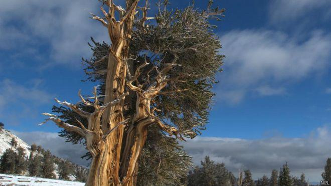 El pino longevo