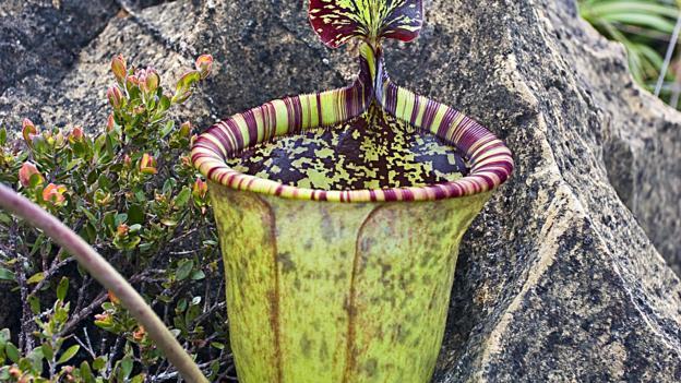 Attenborough's pitcher plant (Nepenthes attenboroughii) (Credit: Alastair Robinson)