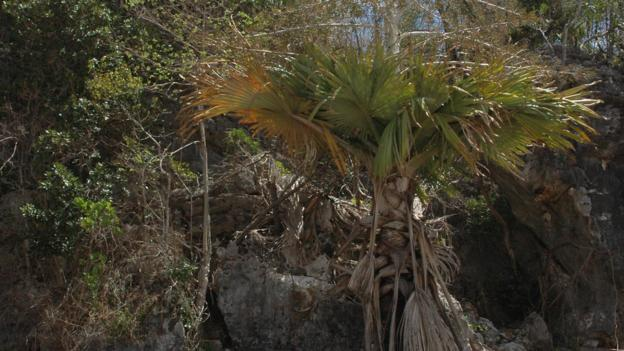A suicide palm (Tahina spectabilis) (Credit: John Dransfield)