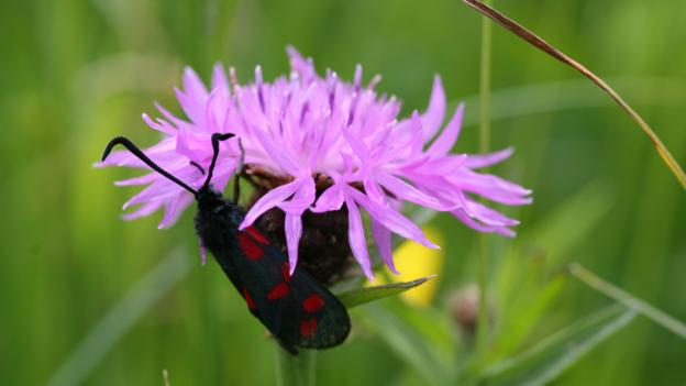 Wildflowers support a myriad of insects such as this burnet moth