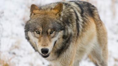 For some, wolves symbolise fear (Credit: Mark Miller/Alamy)
