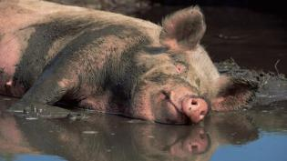 Image result for pigs filthy