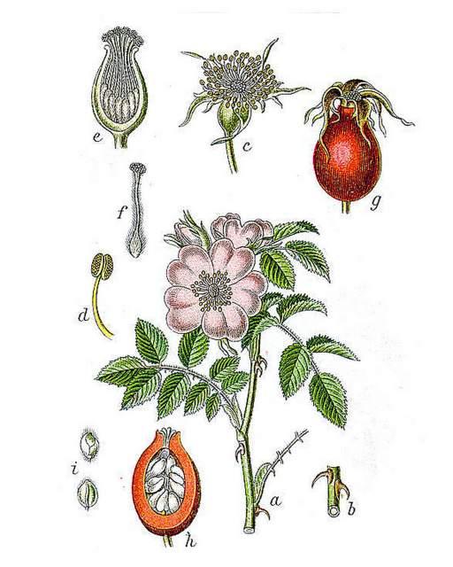 Hagebutte Heilpflanzen Naturmedizin