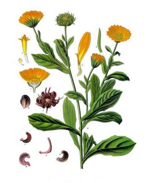 historische Zeichnung Ringelblume Calendula officinalis Köhlers_Medizinal Pflanzen