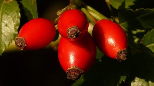 Hagebutte Früchte Heilpflanze