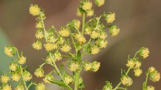 Beifuß Artemisia annua, Blüte