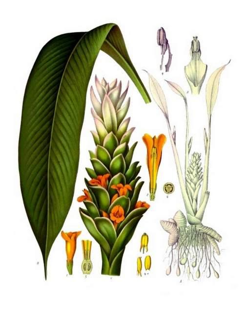 Illustration zur Gelbwurz aus Koehler's Medizinal-Pflanzen, 1897