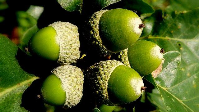 Traubeneiche Früchte