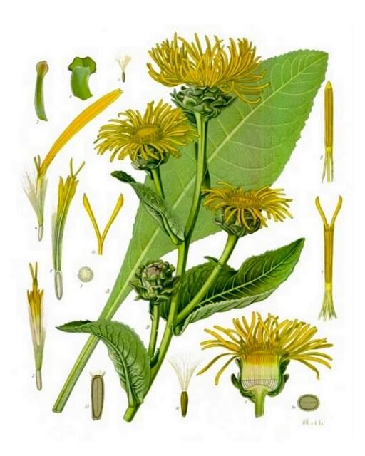Alant-Inula_helenium_Koehlers_Medizinal-Pflanzen-210