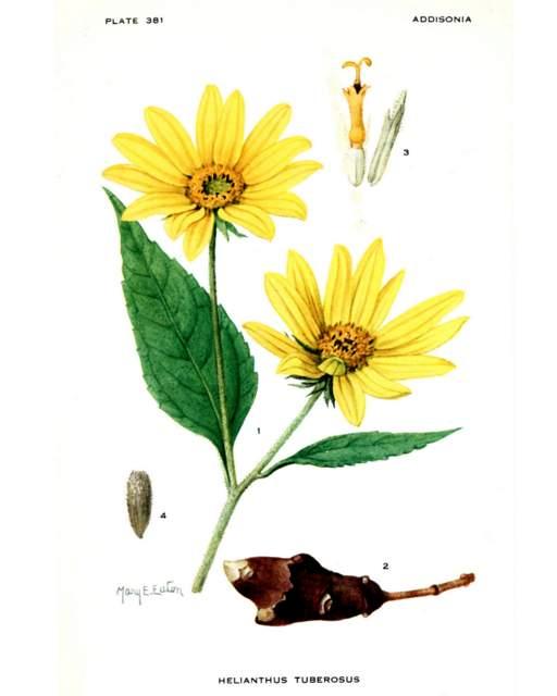 Helianthus tuberosus Addisonia, vol. 11 t. 381 (1926) [M.E. Eaton]