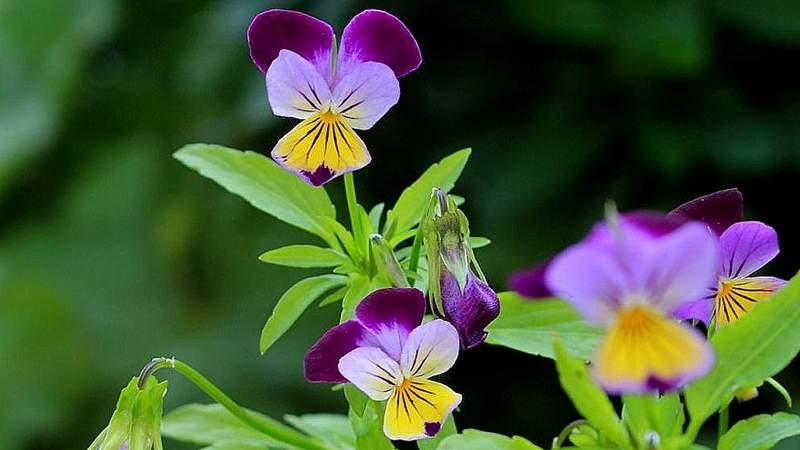 Stiefmütterchen, Wildes (Viola tricolor L.)