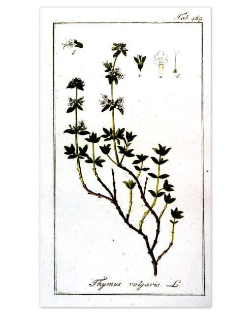 Historische Abbildung Thymian