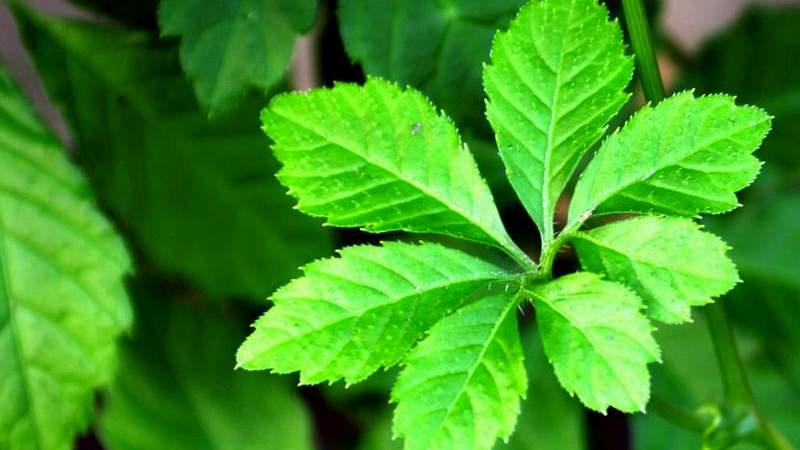 Jiaogulan (Gynostemma pentaphyllum (Thunb.) Makino)