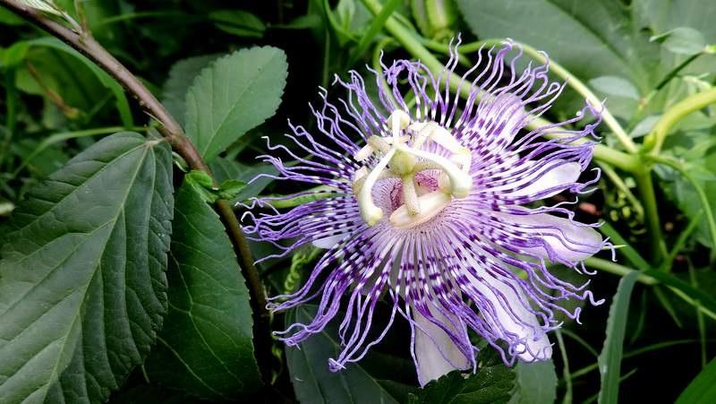 Passionsblume, Fleischfarbige (Passiflora incarnata L.)
