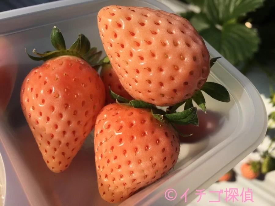 イチゴ探偵 【あその小雪】【天使の実】【雪うさぎ】など白いちご&ピンクイチゴまとめ!なんと10種以上も!?