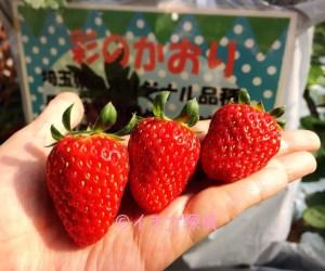 埼玉県の幻のいちご【彩のかおり】のイチゴ狩り!志村農園で5品種の苺を食べ比べ!
