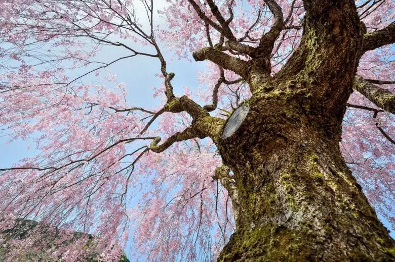 桜まつり・桜イベントの紹介アイキャッチ