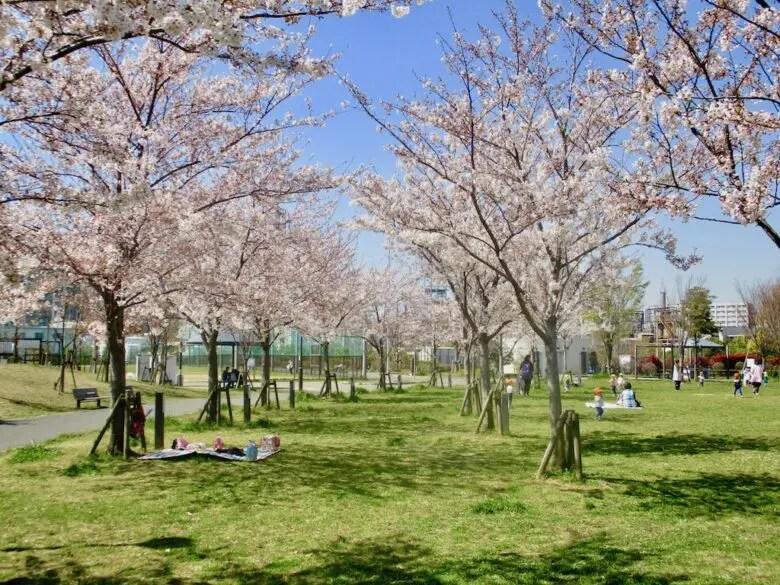 広尾防災公園のいこいの広場の桜