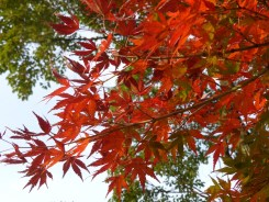 Autumn leaves in the Tokugawaen
