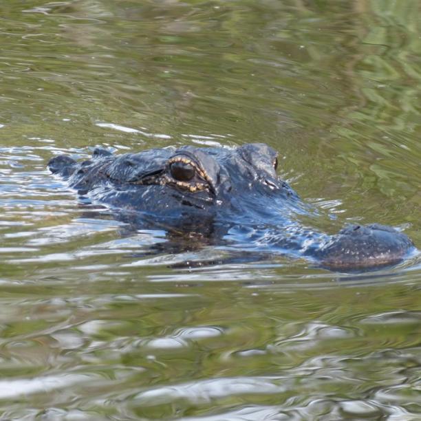Alligator auf der Lauer
