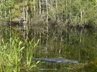 Alligator im Big Cypress NP