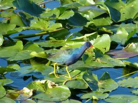 Vogel, der über das Wasser läuft