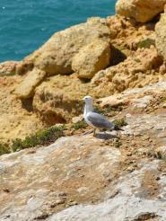 Algarve Carvoeiro Cliff Walk Klippen Möwe