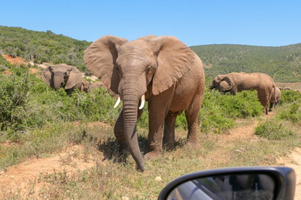 Südafrika Addo Elephant Nationalpark Safari Elefant Elefantenherde