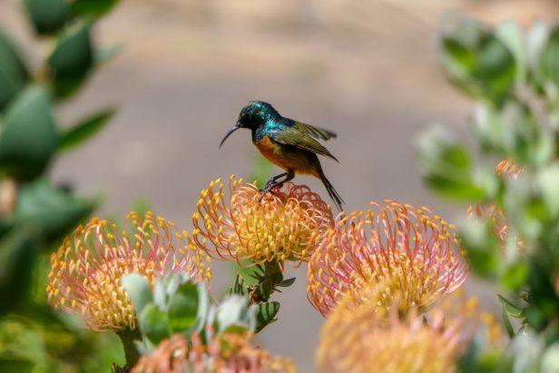 Südafrika Kapstadt Kirstenbosch Botanical Garden Protea Blume Subird Vogel Nahaufnahme