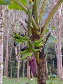 Thailand Khao Sok Nationalpark Dschungel Anurak Community Lodge Bananenstaude