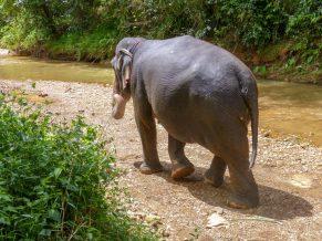 Thailand Khao Sok Nationalpark Dschungel Win Elephant Camp Elefantencamp Elefantenbaden Elefant