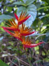 Thailand Khao Sok Nationalpark Dschungel Anurak Community Lodge Pflanze Blume