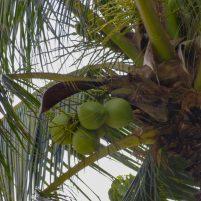 Thailand Koh Ngai Koh Hai Insel Andamanensee Inselparadies Kokosnuss Palme