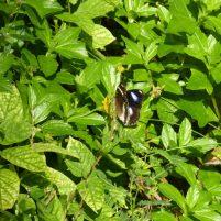 Thailand Koh Ngai Koh Hai Insel Andamanensee Inselparadies Schmetterling