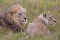 Südafrika South Africa Sibuya Game Reserve Safari Löwen Löwe Löwin Raubkatzen