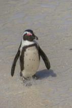 Südafrika South Africa Kap Halbinsel Simons Town Boulders Beach Pinguinkolonie Pinguin