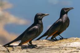 Südafrika Kapstadt Cape Town Tafelberg Table Mountain Vögel