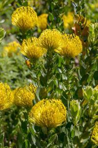 Südafrika South Africa Kapstadt Cape Town Kirstenbosch Botanical Garden Botanischer Garten Blumen Protea