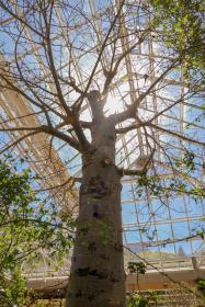 Südafrika South Africa Kapstadt Cape Town Kirstenbosch Botanical Garden Botanischer Garten Wüstenhaus Baum Affenbrotbaum