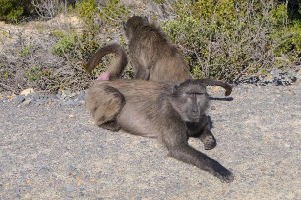 Südafrika South Africa Kap Halbinsel False Bay Cape Point Nationalpark Affen Paviane Baboons