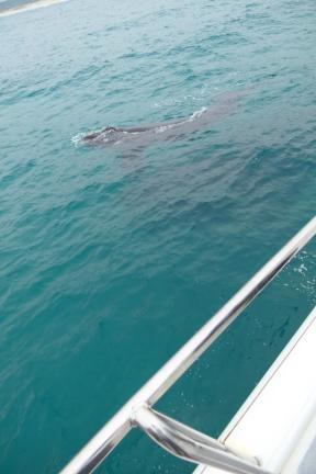 Südafrika South Africa Hermanus Kap Walker Bay Whale Watching Walbeobachtung Southern Right Charters Whale Wal südlicher Glattwal Südkaper Mutter Kalb ganz nah Katamaran