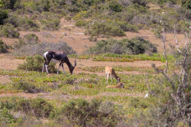 Südafrika South Africa Kap De Hoop Nature Reserve Naturreservat Landschaft Bontebok Buntbock Antilope Jungtiere