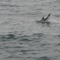 Südafrika South Africa Hermanus Kap Walker Bay Whale Watching Walbeobachtung Southern Right Charters Dusky Dolphin Schwarzdelphin Delphin Delfin springend Schwanzflosse