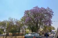 Südafrika South Africa Kleine Karoo Oudtshoorn City Straße Jacaranda