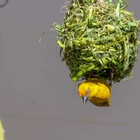 Afrika Südafrika South Africa Garden Route Knysna Vogel Webervogel Nest