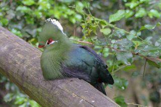 Südafrika South Africa Garden Route Kap Plettenberg Bay Birds of Eden Vogelvoliere Saasa Vögel Loerie Turaco