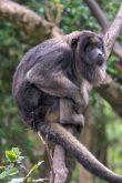 Südafrika South Africa Garden Route Kap Plettenberg Bay Monkeyland Saasa Affen