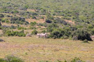 Südafrika South Africa Garden Route Ostkap Addo Elephant Nationalpark Safari Wildtiere Zebra