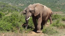 Südafrika South Africa Garden Route Ostkap Addo Elephant Nationalpark Safari Tiere Elefant